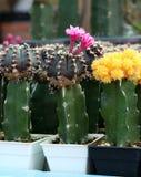 Flores rosadas del cactus que florecen del cactus del mihanovichii del gymnocalycium fotografía de archivo libre de regalías