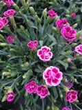 Flores rosadas del clavel en campo Fotografía de archivo