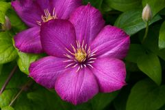 Flores rosadas del Clematis Imagen de archivo