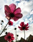 Flores rosadas del cosmos Fotografía de archivo
