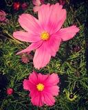 Flores rosadas del cosmos Fotografía de archivo libre de regalías