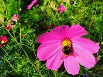 Flores rosadas del cosmos Imagen de archivo libre de regalías