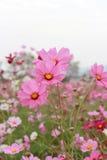 Flores rosadas del cosmos Foto de archivo