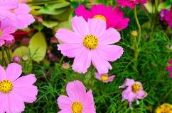 Flores rosadas del cosmos Imágenes de archivo libres de regalías