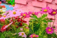 Flores rosadas del cosmos Fotos de archivo libres de regalías