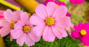Flores rosadas del cosmos Foto de archivo libre de regalías