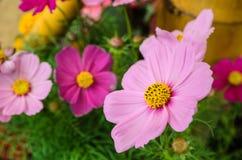 Flores rosadas del cosmos Imagen de archivo