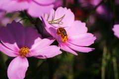Flores rosadas del cosmos Fotos de archivo