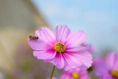 Flores rosadas del cosmos Imagenes de archivo