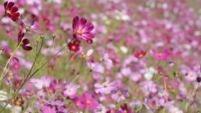 Flores rosadas del cosmos metrajes