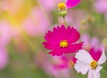 Flores rosadas del cosmos del primer que florecen en campo Fotografía de archivo libre de regalías