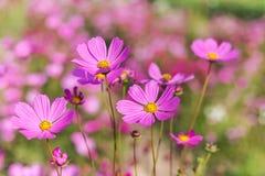 Flores rosadas del cosmos que florecen en campo Imagenes de archivo