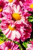 Flores rosadas del crisantemo Imagenes de archivo