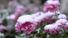 Flores rosadas del crisantemo con las hojas verdes debajo de la nieve La primera nieve, otoño, primavera, invierno temprano Cámar almacen de video