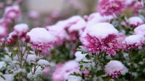 Flores rosadas del crisantemo con las hojas verdes debajo de la nieve La primera nieve, otoño, primavera, invierno temprano Cámar metrajes