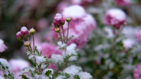 Flores rosadas del crisantemo con las hojas verdes debajo de la nieve La primera nieve, otoño, primavera, invierno temprano Cámar almacen de metraje de vídeo