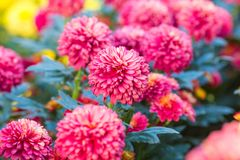 Flores rosadas del crisantemo en el jardín Fotos de archivo