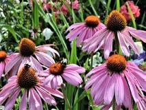 Flores rosadas del echinacea con la abeja en el jardín botánico de Helsinki imágenes de archivo libres de regalías