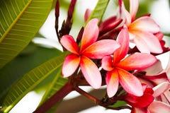 Flores rosadas del Frangipani Foto de archivo libre de regalías