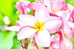 Flores rosadas del Frangipani Foto de archivo