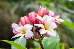 Flores rosadas del Frangipani Imagenes de archivo