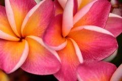 Flores rosadas del Frangipani Imágenes de archivo libres de regalías