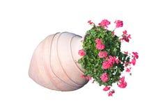 Flores rosadas del geranio fotos de archivo
