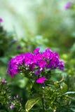 Flores rosadas del geranio en jardín Fotografía de archivo