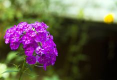 Flores rosadas del geranio en jardín Imagen de archivo libre de regalías