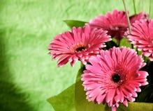 Flores rosadas del gerber Foto de archivo libre de regalías