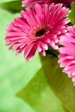 Flores rosadas del gerber Fotografía de archivo