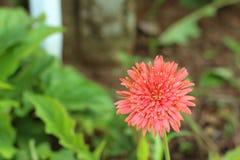 Flores rosadas del gerbera en la naturaleza Imágenes de archivo libres de regalías
