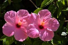 Flores rosadas del hibisco Imagen de archivo libre de regalías