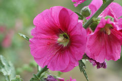 Flores rosadas del hollyhock Foto de archivo