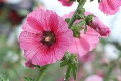 Flores rosadas del hollyhock Fotografía de archivo