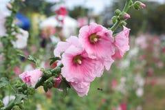 Flores rosadas del hollyhock Fotos de archivo
