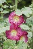 Flores rosadas del hollyhock Foto de archivo libre de regalías
