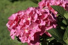 Flores rosadas del hortensia Foto de archivo