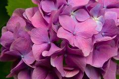 Flores rosadas del Hydrangea imágenes de archivo libres de regalías