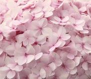 Flores rosadas del hydrangea fotografía de archivo