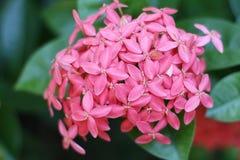 flores rosadas del ixora Fotografía de archivo