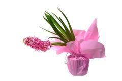 Flores rosadas del jacinto Imagen de archivo libre de regalías