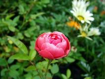 Flores rosadas del jardín foto de archivo