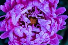 Flores rosadas del jardín de los asteres Pétalos delicados Foto horizontal asoleado Fotografía de archivo