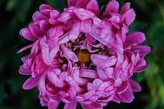Flores rosadas del jardín de los asteres Pétalos delicados Foto horizontal asoleado Fotos de archivo