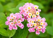 Flores rosadas del lantana. Foto de archivo libre de regalías