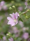 Flores rosadas del lavatera Fotos de archivo libres de regalías