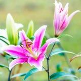 Flores rosadas del lirio Imagen de archivo libre de regalías