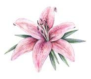 Flores rosadas del lirio aisladas en el fondo blanco Ejemplo del trabajo hecho a mano de la acuarela Fotos de archivo libres de regalías