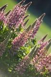Flores rosadas del lupine Fotografía de archivo libre de regalías